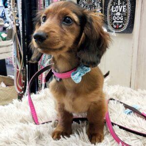 halsband und leine für kleine hunde und welpen